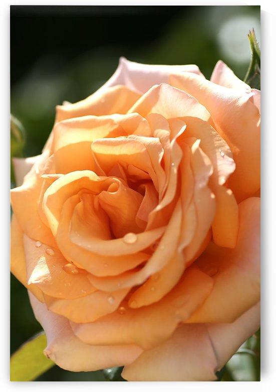 Open Orange Rose by Joy Watson