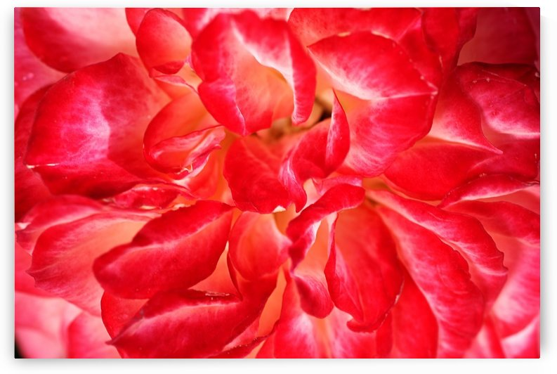 Red Rose Petals by Joy Watson