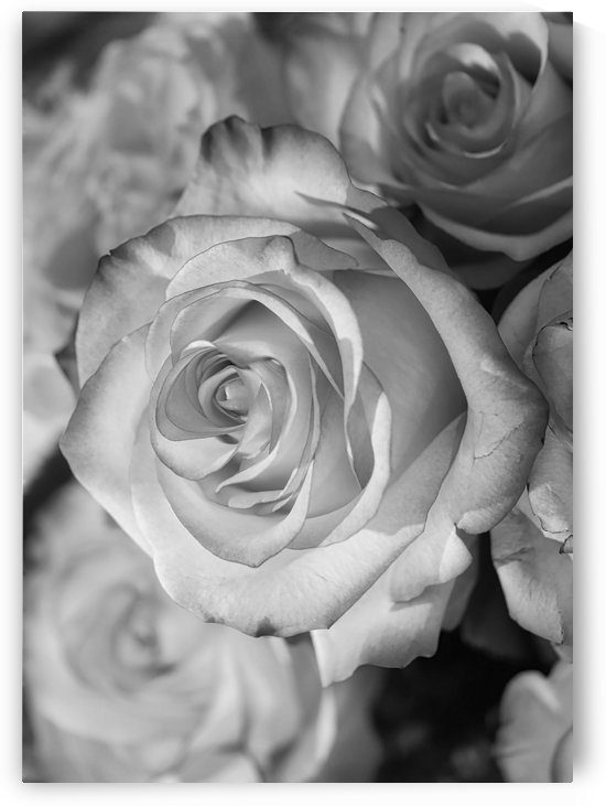 Rose black+white   by Thula-Photography