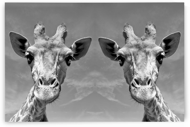 Giraffe Duo b+w by Thula-Photography