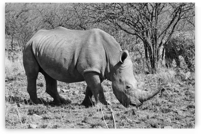 Rhinos in the bush 6383 b+w by Thula-Photography