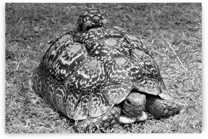 Leopard Mountain Tortoise with Baby b+w by Thula-Photography