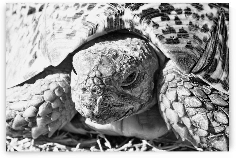 Tortoise Portrait 55 b+w by Thula-Photography