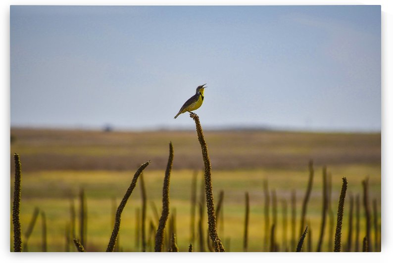 Western Meadowlark by Scene Again Images: Photography by Cliff Davis