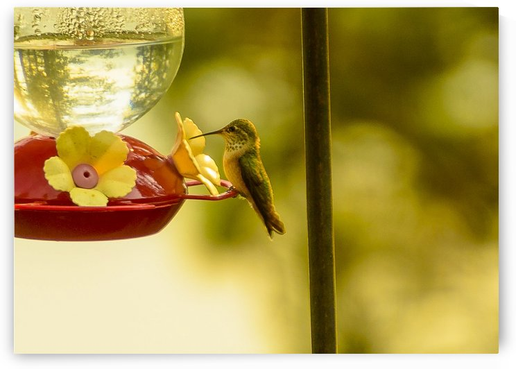 Hummingbird by Scene Again Images: Photography by Cliff Davis