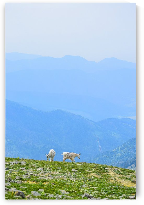 Goats on Sacagawea Peak by Scene Again Images: Photography by Cliff Davis