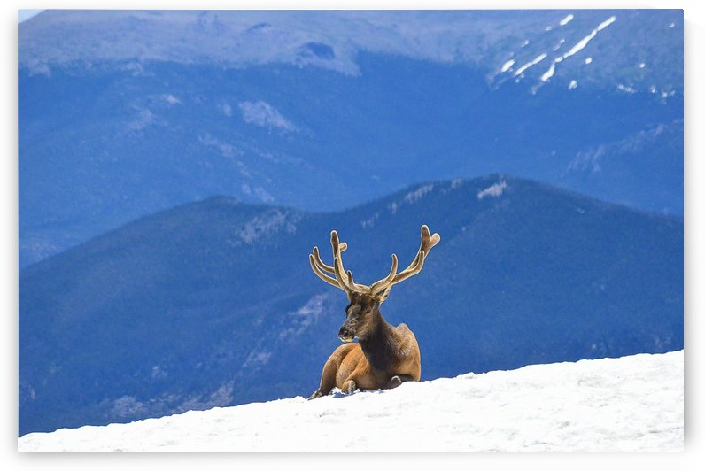 Trail Ridge Elk by Scene Again Images: Photography by Cliff Davis