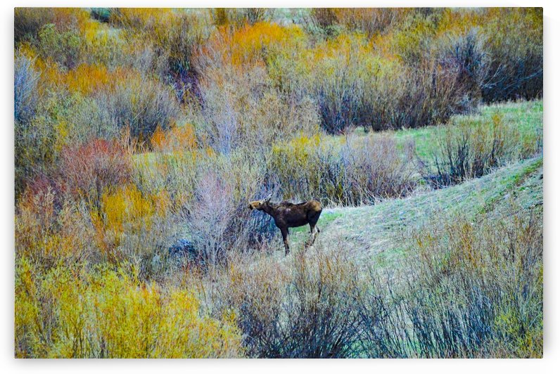 Colored Moose by Scene Again Images: Photography by Cliff Davis