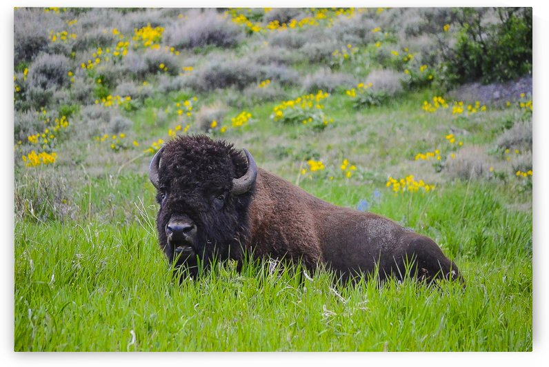 Bison in Wildflowers by Scene Again Images: Photography by Cliff Davis