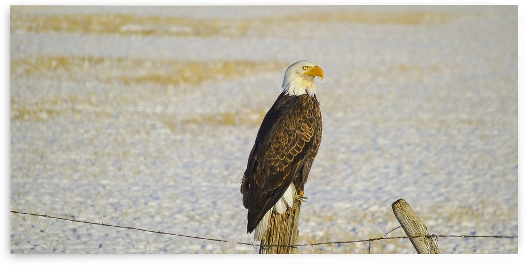 Bald Eagle by Scene Again Images: Photography by Cliff Davis