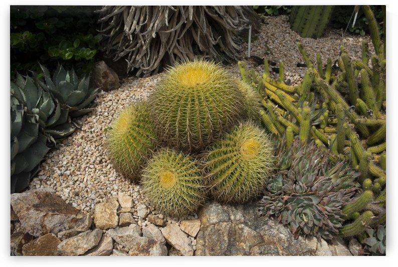 Cute cacti in desert by Filipa Sara Popova