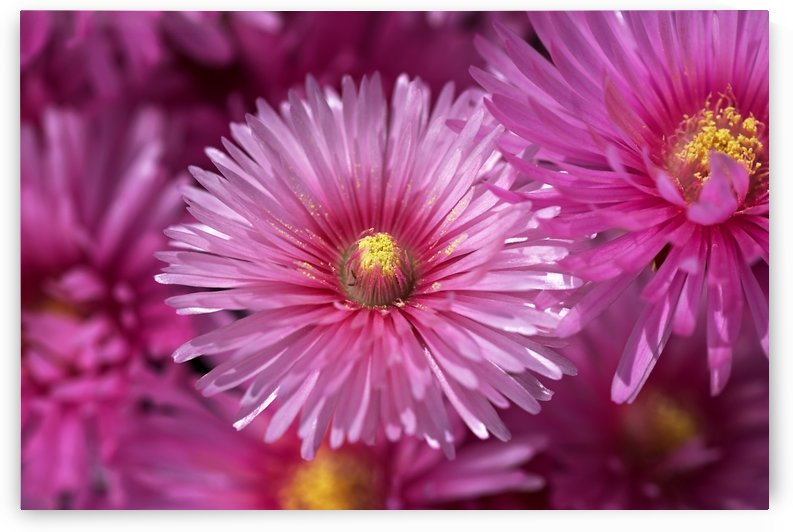 Pink Ice Plant Flowers by Joy Watson
