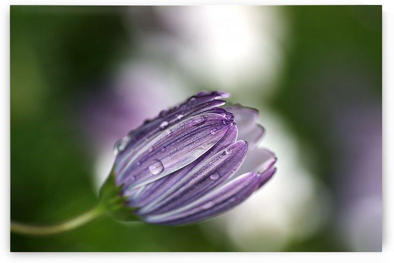 Daisy Bud by Joy Watson