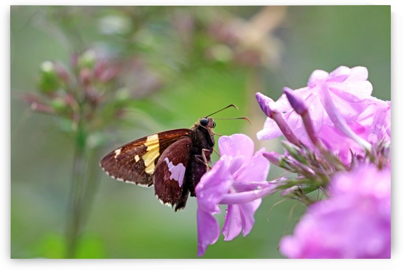 Silver Spotted Skipper by Deb Oppermann