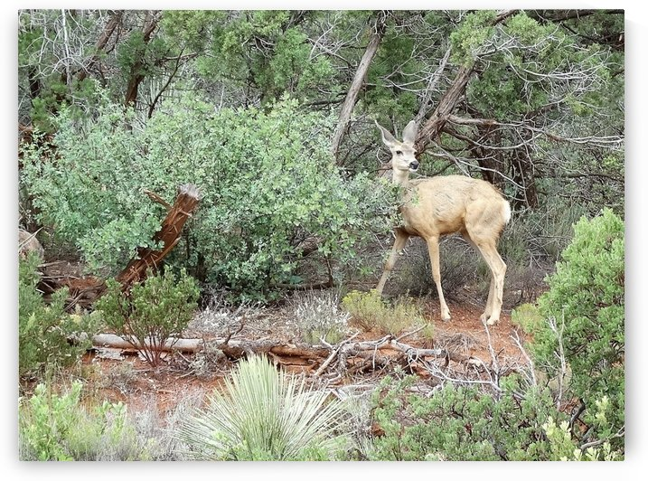 Mule Deer in Sedona by Emerson