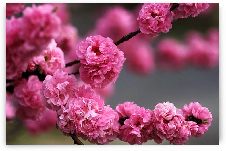 Blossom Of Pom Poms by Joy Watson