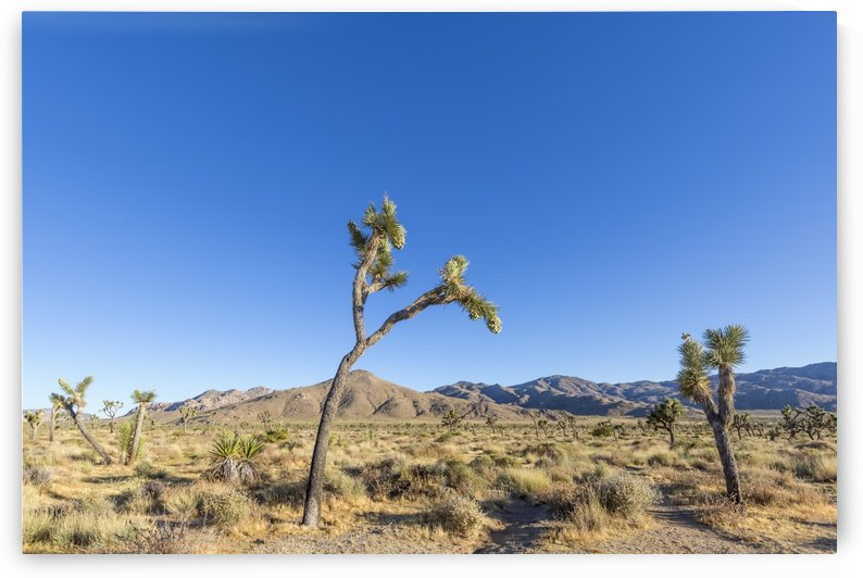 Joshua Tree National Park  by Melanie Viola