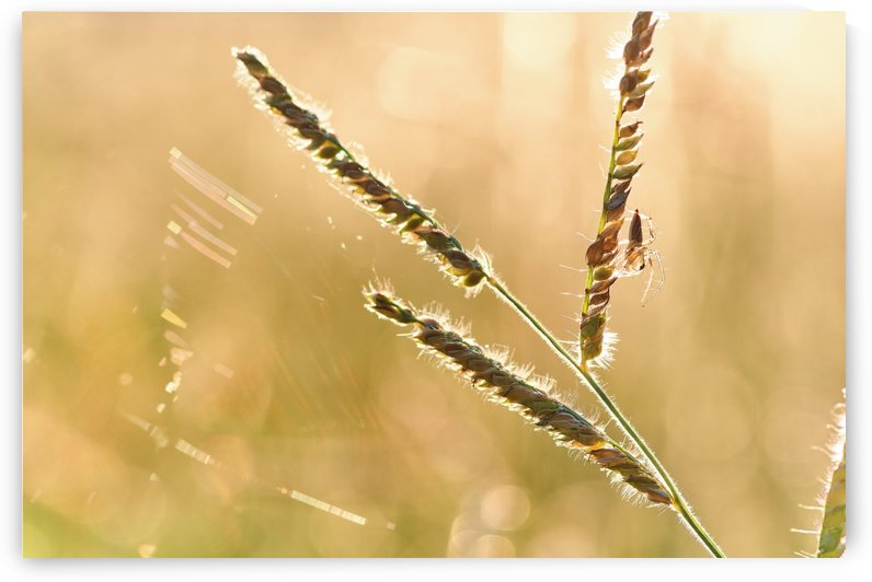 Spider perching on the grass in the evening light by Krit of Studio OMG