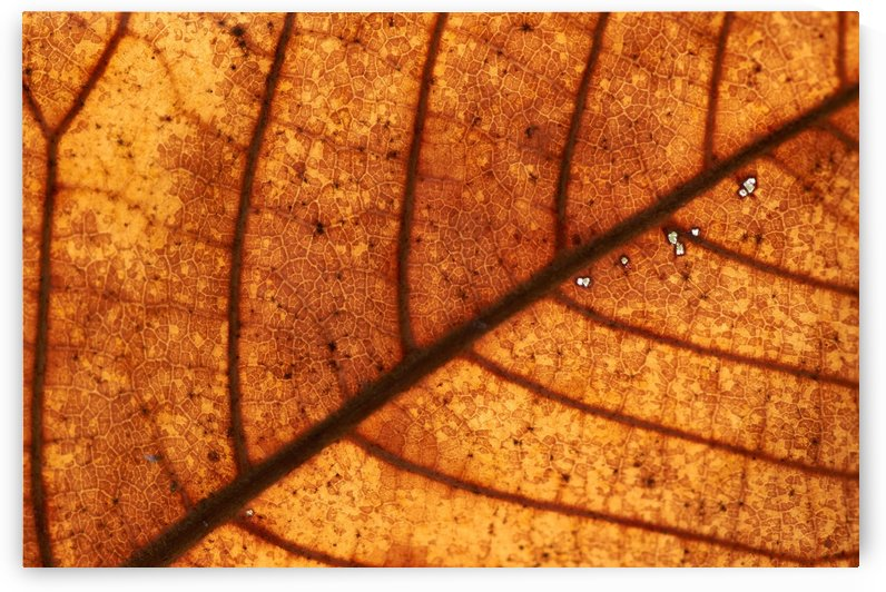 Texture of dry leaf in autumn by Krit of Studio OMG