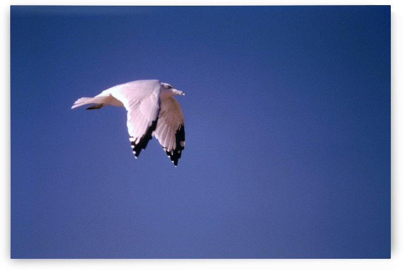 Seagull In Flight Photograph by Katherine Lindsey Photography
