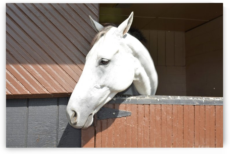 White Horse  In Barn Photograph by Katherine Lindsey Photography