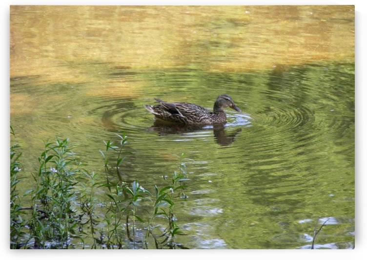 Duck Photograph by Katherine Lindsey Photography