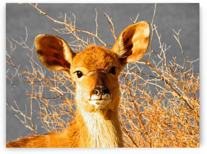 Young Nyala 130 gold by Thula-Photography