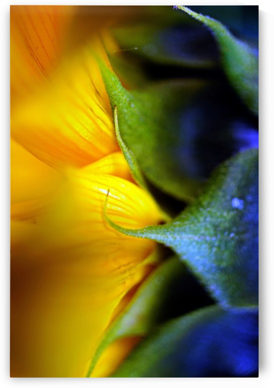 Sides of a Sunflower 01 by Richard Vloemans Macro Photography