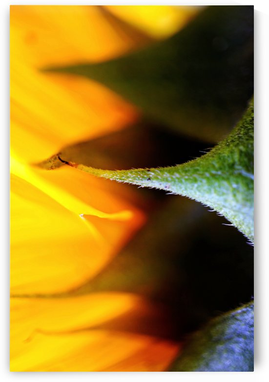 Sides of a Sunflower 02 by Richard Vloemans Macro Photography