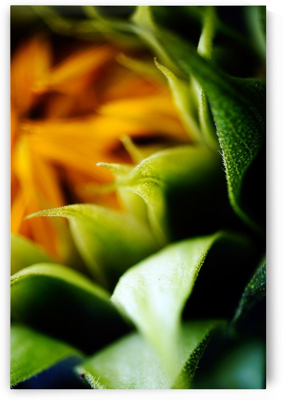 Sides of a Sunflower 03 by Richard Vloemans Macro Photography