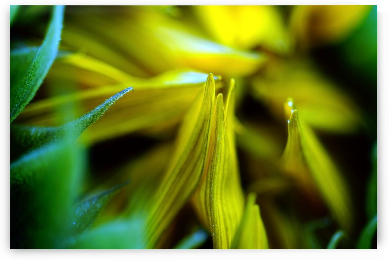 Sides of a Sunflower 06 by Richard Vloemans Macro Photography