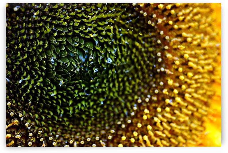 Sides of a Sunflower 09 by Richard Vloemans Macro Photography