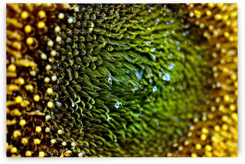 Sides of a Sunflower 10 by Richard Vloemans Macro Photography