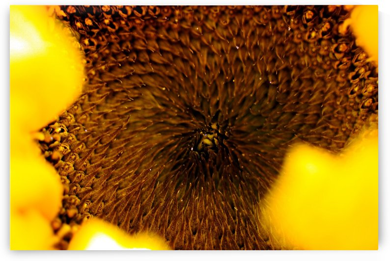 Sides of a Sunflower 11 by Richard Vloemans Macro Photography