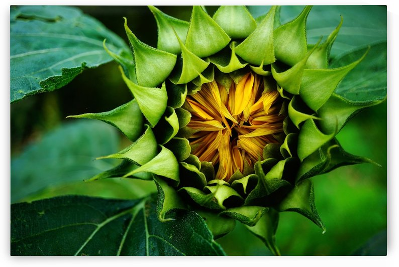 Sides of a Sunflower 12 by Richard Vloemans Macro Photography