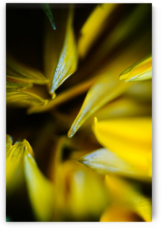 Sides of a Sunflower 13 by Richard Vloemans Macro Photography