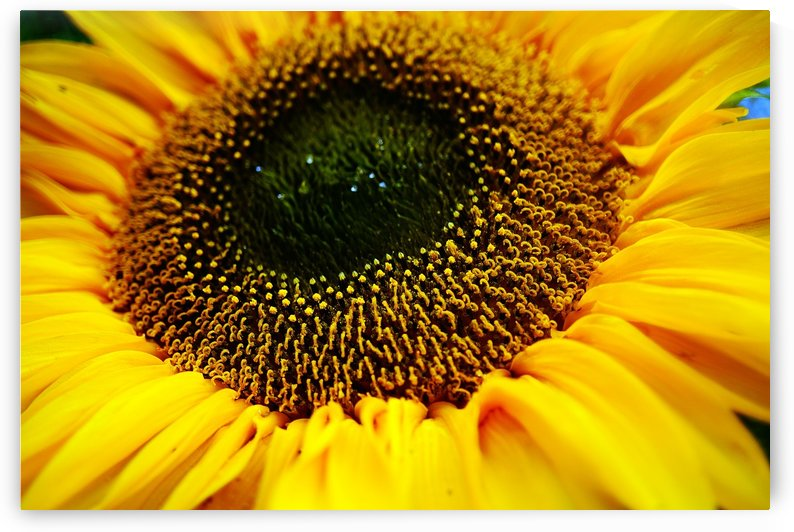 Sides of a Sunflower 14 by Richard Vloemans Macro Photography