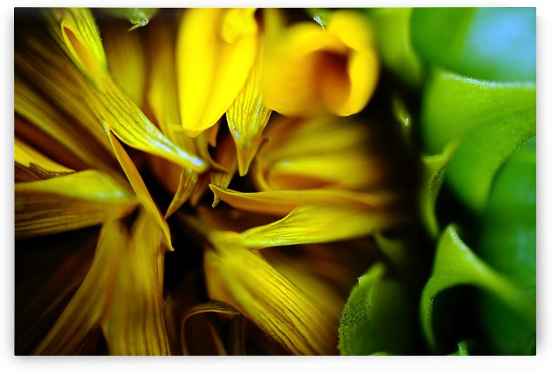 Sides of a Sunflower 17 by Richard Vloemans Macro Photography