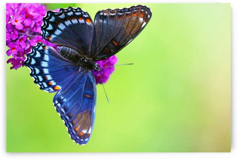 Red Spotted Purple Butterfly by Deb Oppermann