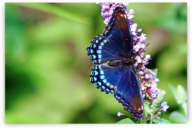 Red Spotted Purple Beauty by Deb Oppermann