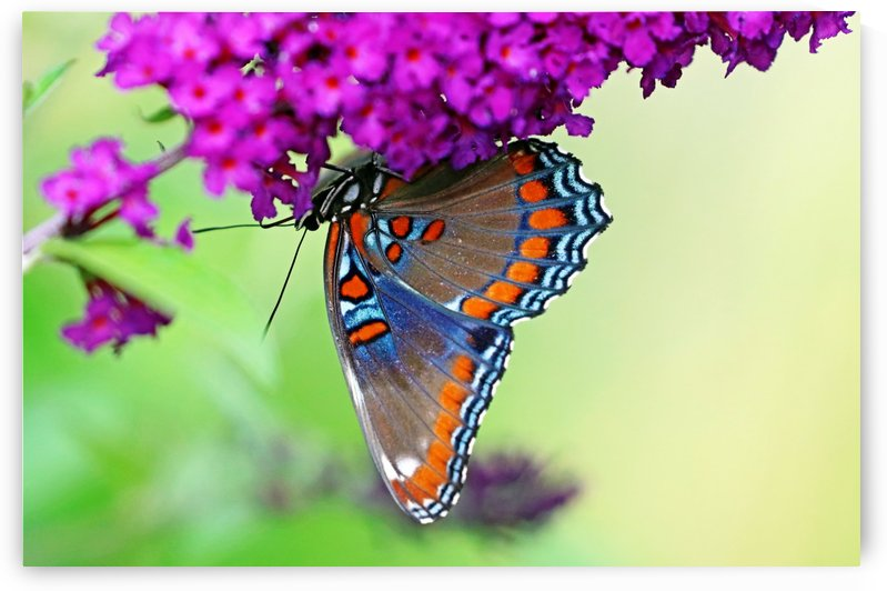 Upside Down Red Spotted Purple by Deb Oppermann