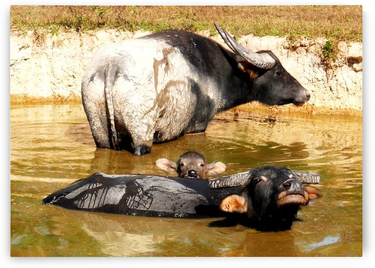 Water Buffalo Family Portrait by Lexa Harpell
