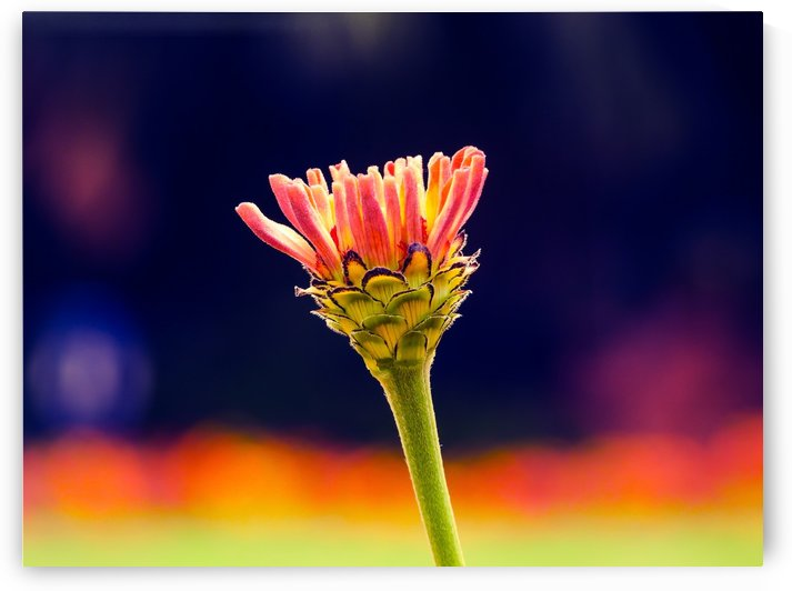 Flower buds by Kishore Dharuman