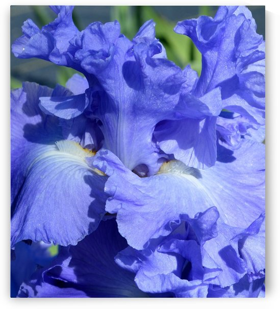 Metoleus Blue Bearded Iris by Michelle K Wood