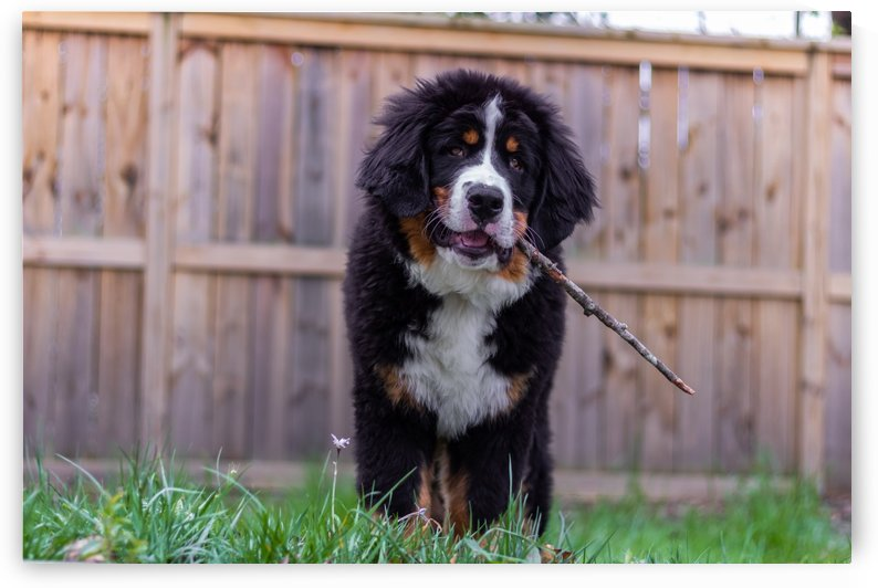 Bernese Mountain Dog Puppy 11 by Jules Siegel