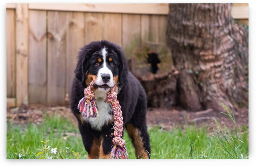 Bernese Mountain Dog Puppy 8 by Jules Siegel
