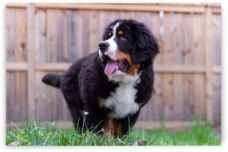 Bernese Mountain Dog Puppy 6 by Jules Siegel