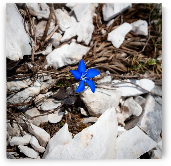 Blue Flower in Rocks by Jules Siegel