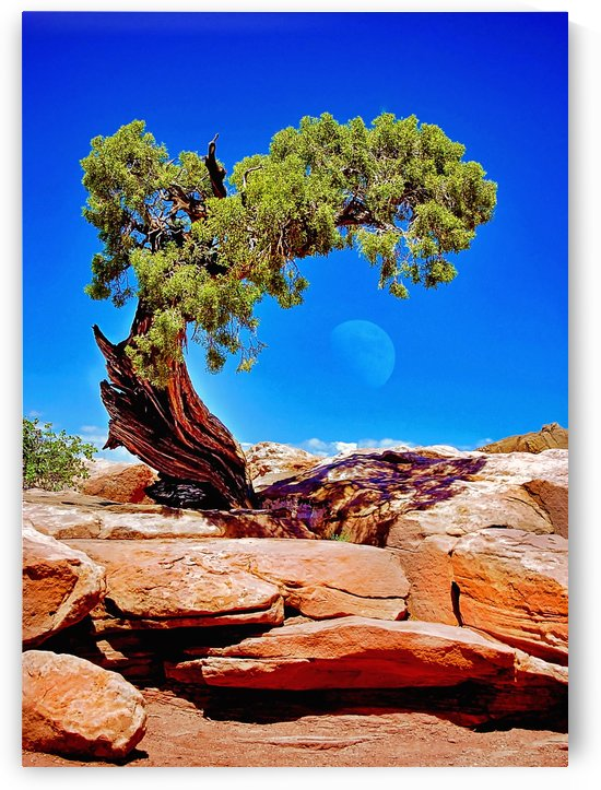 Juniper w moon by Pamela Winter
