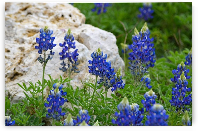 Texas Bluebonnets by MDruba